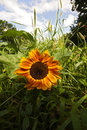 Sunflower in the grass Royalty Free Stock Photo