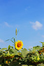Sunflower and grass with sky. Royalty Free Stock Photo