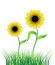Sunflower on green field Royalty Free Stock Photos