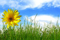 Sunflower in green grass Royalty Free Stock Photo