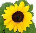 Sunflower with green leaves Royalty Free Stock Images