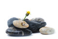 Sunflower growing out of pebbles life concept Royalty Free Stock Photos
