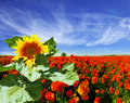 The sunflower grows in among buttercups huge picturesque a field red blossoming Stock Photo