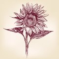 Sunflower hand drawn vector llustration realistic sketch Stock Photography