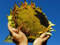 Sunflower hands with against blue sky Stock Photography