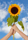 Sunflower in hands symbol of happiness Royalty Free Stock Photo