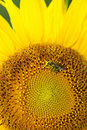 Sunflower head being pollinated by a honey bee Royalty Free Stock Photo
