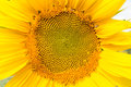 Sunflower head close up, part of flower Royalty Free Stock Photo