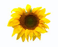 Sunflower head isolated on white background Royalty Free Stock Photo