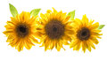 Sunflower head isolated white background flower Royalty Free Stock Photo