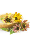 Sunflower (Helianthus) Royalty Free Stock Photography