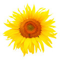 Sunflower (Helianthus annuus) Stock Image