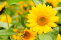 Sunflower Helianthus annuus Royalty Free Stock Image