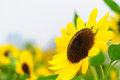 Sunflower Helianthus annuus Royalty Free Stock Images