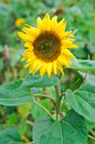 Sunflower (Helianthus annuus) Stock Photos