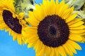 Sunflower helianthus annuus is an annual plant native to the americas Stock Images