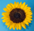 Sunflower helianthus annuus is an annual plant native to the americas it possesses a large inflorescence flowering head Royalty Free Stock Images
