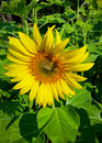 Sunflower or helianthus annuus in beautiful sunlight Stock Photo