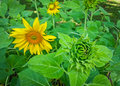 Sunflower or helianthus annuus in beautiful sunlight Stock Photography