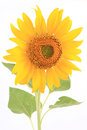 Sunflower (Helianthus annuus) Isolated Stock Images