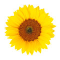 Sunflower helianthus annuus isolated blossom on white background Stock Image