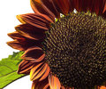 Sunflower Helianthus annuus Royal Velvet Stock Photography