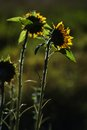 Sunflower helianthus annuus in sunrise light Stock Images
