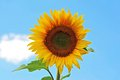 Sunflower helianthus beautiful and blue sky with bright sun lights Royalty Free Stock Photo