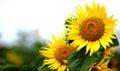 Image : Sunflower other - among