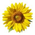 Sunflower - Heliantus