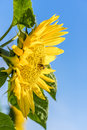 Sunflower with honey bee side view of Royalty Free Stock Photo