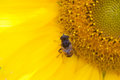 Sunflower and hoverfly Eristalis, macro view. Yellow petals flower with fly. Shallow depth of field, selective focus Royalty Free Stock Photo