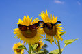 Sunflower inlove with sunglasses in love on blue sky Stock Image