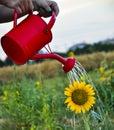 Sunflower irrigate water yellow drops Stock Photography