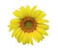 Sunflower isolate Stock Image