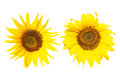 Sunflower isolated Stock Photos