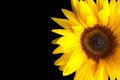 Sunflower isolated on black background Royalty Free Stock Photo