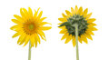 sunflower isolated front and back side Royalty Free Stock Photo