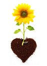 Sunflower isolated from seed in ground heart shape Royalty Free Stock Photo