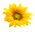 Sunflower isolated Royalty Free Stock Photo
