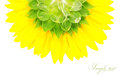 Sunflower isolated on a white background Royalty Free Stock Images