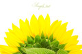Sunflower isolated on a white background Royalty Free Stock Photo