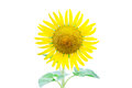 Sunflower isolated on white background Royalty Free Stock Photography