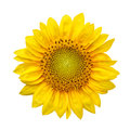 Sunflower with isolated on white background Royalty Free Stock Photo