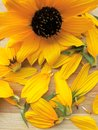 Sunflower and its petals Royalty Free Stock Photo