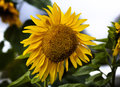 Sunflower Large Royalty Free Stock Photos