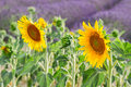Sunflower and Lavender field Royalty Free Stock Photo