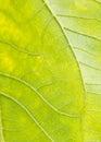 Sunflower leaf garden, texture,Agriculture,flower,botany