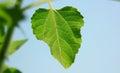 Sunflower leaf shines under the sun shining Royalty Free Stock Photo