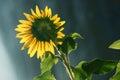 Sunflower leaf shines under the sun shining Stock Photo